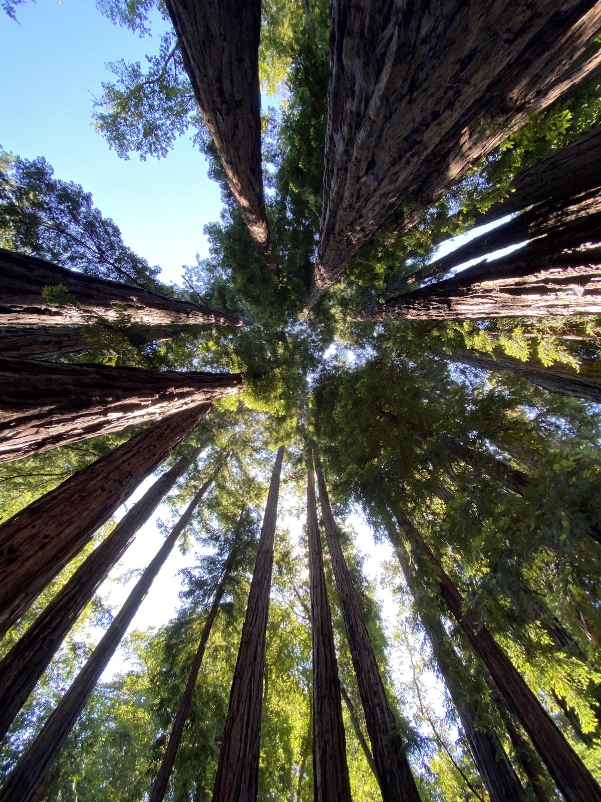 Redwoods at Partington